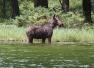 moose sighting, moose on the loose